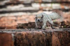 Closeup Image Of A Eastern Grey Squirrel (Sciurus carolinensis) Stock Images