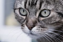 Closeup image with the face of a cat with green eye, a magnificent mustaches a. Nd a cute nose royalty free stock photo