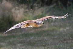 Ferruginous Hawk in flight stock image