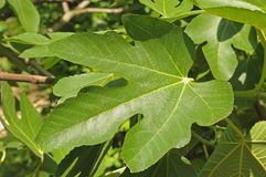 Fig leaf in sunny day royalty free stock photos