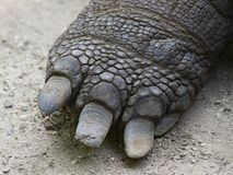 Aldabra giant tortoise Aldabrachelys gigantea Stock Images