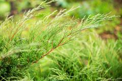 A closeup image of green juniper leaves royalty free stock image