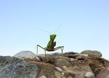 Closeup image of green praying mantis (Mantis religiosa) is sitt Stock Photo