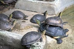 Closeup image of group small turtles stacked on top look at the Royalty Free Stock Images