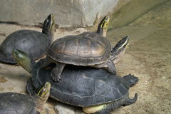 Closeup image of group small turtles stacked on top look at the Stock Images