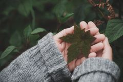Closeup image of hands holding green maple leaf. In cold season royalty free stock image