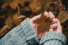 Closeup image of hands holding maple leaf royalty free stock photos