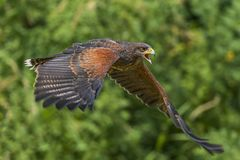 Harris Hawk in flight. A closeup image of a Harris Hawk in flight stock images