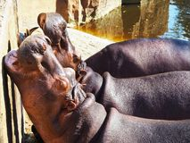 Hungry Hippos. Closeup image of hungry hippos in a hot summer day stock images