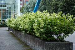 Closeup image of a Hydrangea paniculata hedge. Next to a park alley stock images