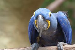 Closeup image of isolated Hyacinth Macaw. Hello! Closeup image of friendly Hyacinth Macaw parrot perched on branch royalty free stock images