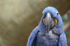 Closeup image of isolated Hyacinth Macaw