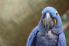 Closeup image of isolated Hyacinth Macaw. Hi! Closeup image of friendly Hyacinth Macaw parrot facing camera stock image