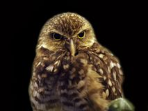Closeup image of isolated Burrowing Owl royalty free stock photo