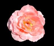 Pink colored rose flower on dark background