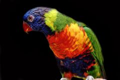 Closeup image of isolated Rainbow Lorikeet