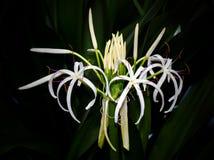 Crinum or swamp lily on dark background