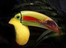 Closeup image of isolated Toucan