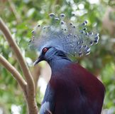 Closeup image of isolated Victoria Crowned Pigeon