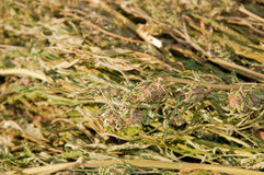 Closeup image of a large bundle of marijuana Royalty Free Stock Image