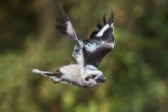 Laughing Kookaburra in flight stock image
