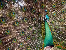 A Male Peacock and His Beautiful Feathers stock images