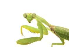 Closeup image of mantis head looking into camera