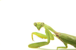 Closeup image of mantis on white. Soothsayer green insect. Mantis on white background. Closeup image of mantis. Soothsayer or mantis green insect. Mantis head Royalty Free Stock Photography