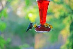 Free Closeup Image Of A Beautiful Hummingbird Stock Image - 22403771