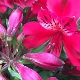 Pink alstroemeria flower closeup. Closeup image of a pink Alstroemeria flower Royalty Free Stock Photo