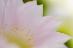 Closeup Image of Pink Cactus Flower Royalty Free Stock Images
