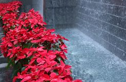Poinsettia in perspective stock images