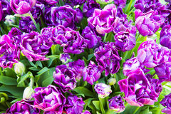 Closeup image of purple double late tulips Royalty Free Stock Photo
