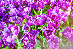 Closeup image of purple double late tulips Royalty Free Stock Photos