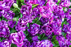 Closeup image of purple double late tulips Stock Photo