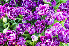 Closeup image of purple double late tulips Stock Photography
