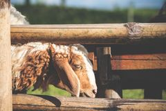 Closeup image of sheep eating grasses in a field Stock Photography