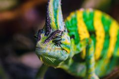 Close up Veiled chameleon or Chamaeleo calyptratus Stock Images