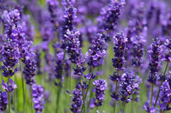 Violet lavender Stock Photos