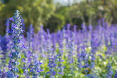 Closeup image of violet lavender flowers Royalty Free Stock Photo