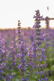 Closeup image of violet lavender flowers in the field Stock Photography