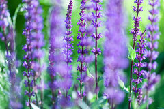 Closeup image of violet lavender flowers in the field Stock Images