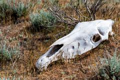 Horse skull in grass close up. Closeup image of white bone of horse`s skull lying on ground. Famine concept stock image