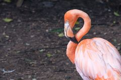 A white and orange flamingo standing alone with soil background. Closeup image of a white and orange flamingo standing alone with soil background Stock Photos