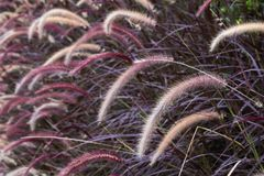 Closeup image of white , purple and pink poaceae or mission grass. In a field Stock Image