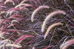 Closeup image of white , purple and pink poaceae or mission grass. In a field Royalty Free Stock Photos