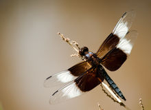 Closeup image of a Widow skimmer Dragonfly Stock Photos