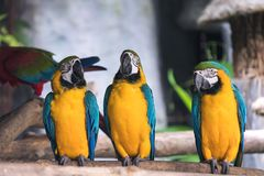 Yellow and blue macaw ara chloropterus birds standing on wood perch. Closeup image of yellow and blue macaw ara chloropterus birds standing on wood perch Royalty Free Stock Images