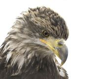 Closeup of a Young Bald Eagle Isolated on White royalty free stock images