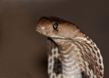 Closeup of an Indian Cobra. Side view of an Indian Cobra Royalty Free Stock Photography